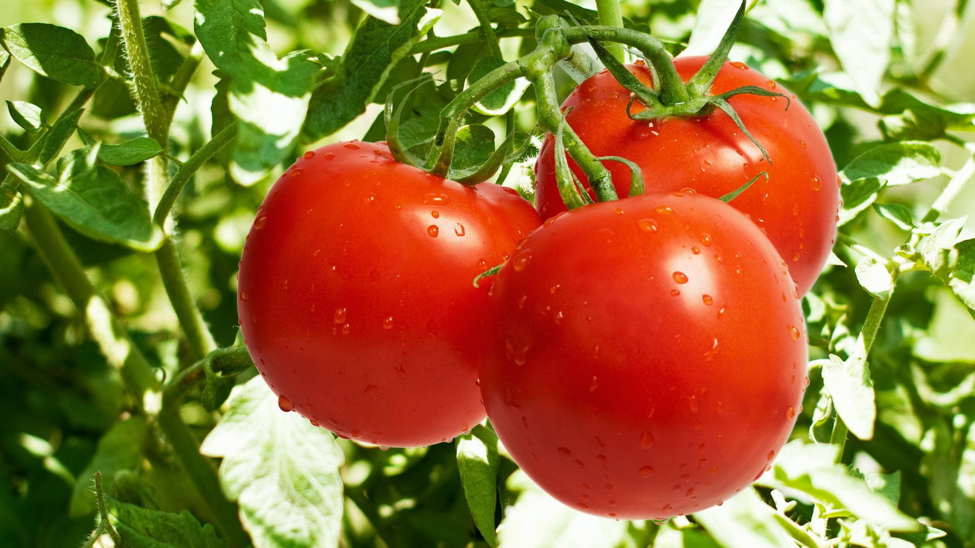 Nature___Plants____Juicy_tomatoes_064798_