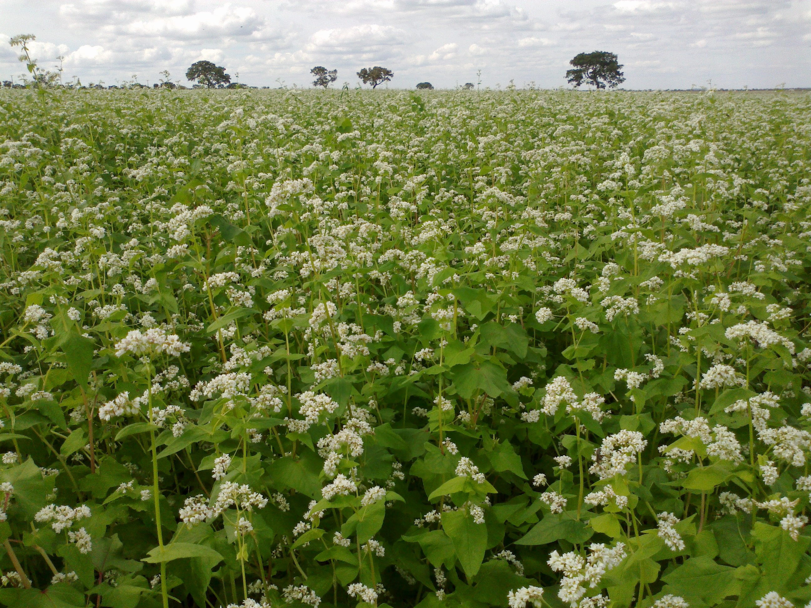 Field_of_buckwheat