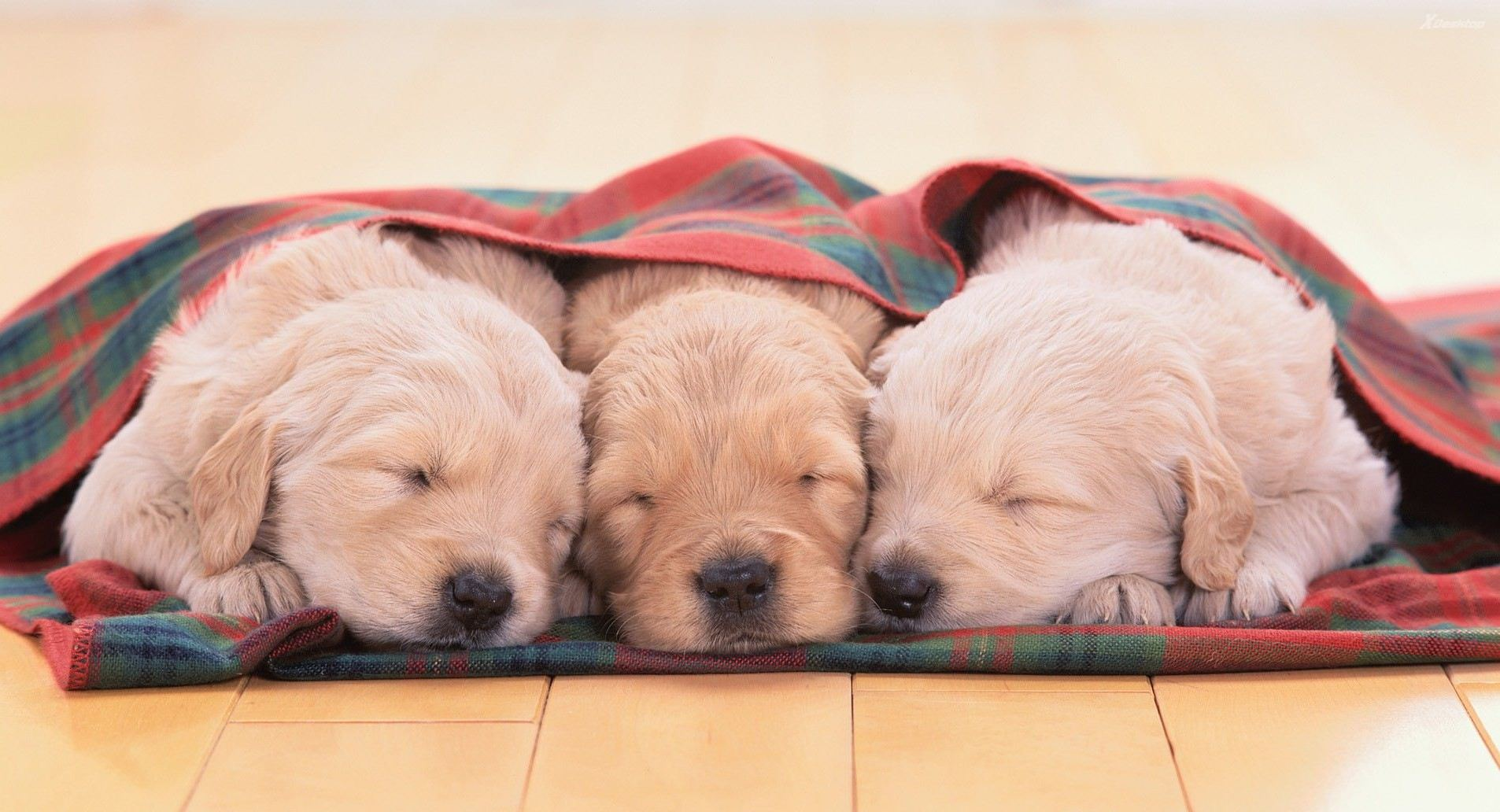 cute-three-little-white-puppies-sleeping-together1